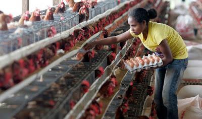 Tips Sukses Bisnis Ternak Ayam Petelur Modal Kecil