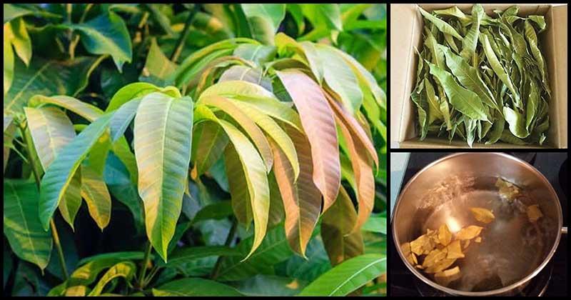 Mango Leaf Tea: Its Benefits And How To Make It