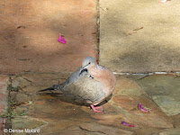 Spotted Dove showing both neck patches – Fort DeRussy Park, Oahu – © Denise Motard