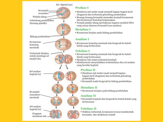 tahapan pembelahan meiosis sel manusia
