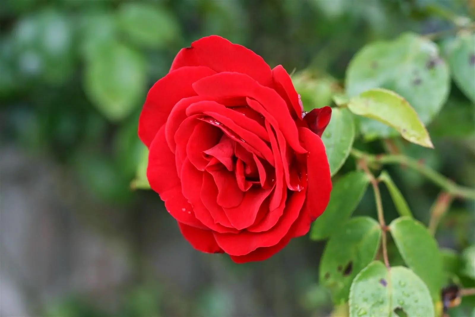 صورة وردة حلوة جميلة 4