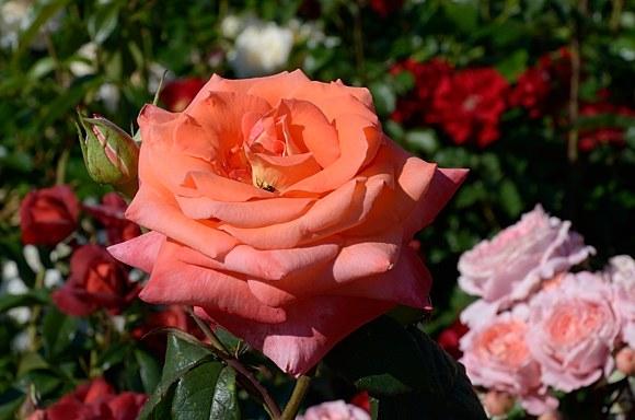 Fortuna сорт розы фото