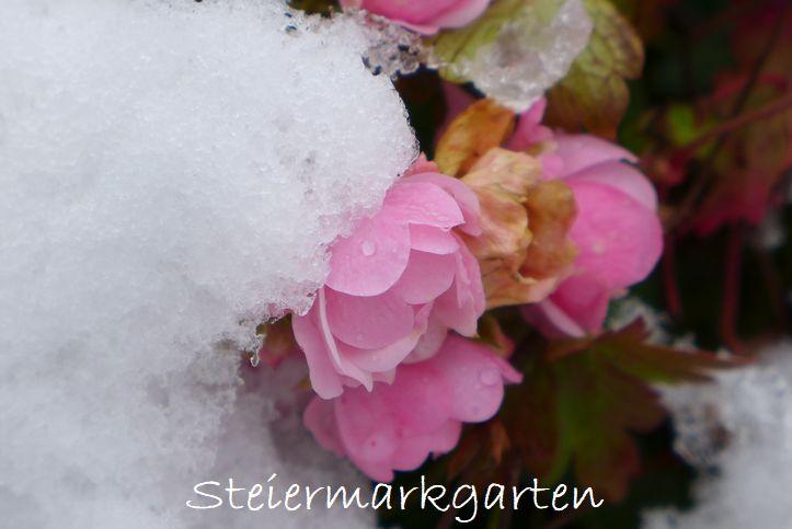 Rosen-im-Schnee-Steiermarkgarten