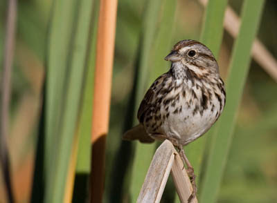 Photo of Song Sparrow on cattails