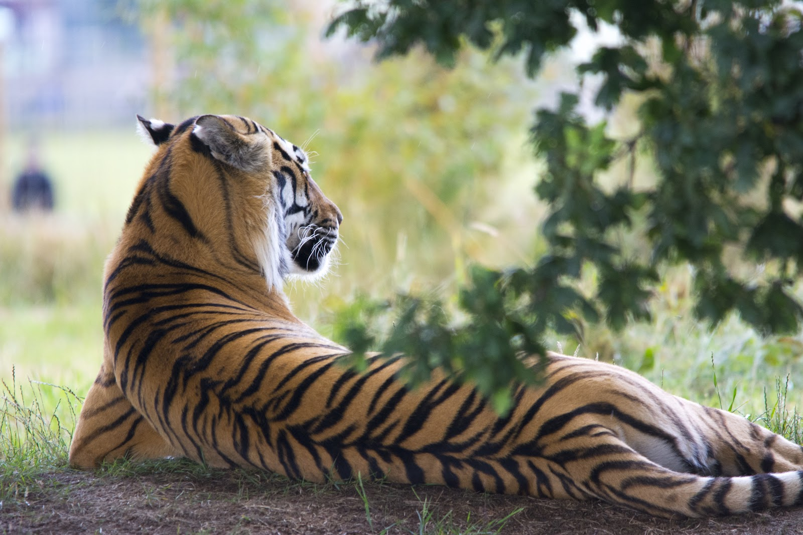 tiger-lying-down-during-daytime-pictures