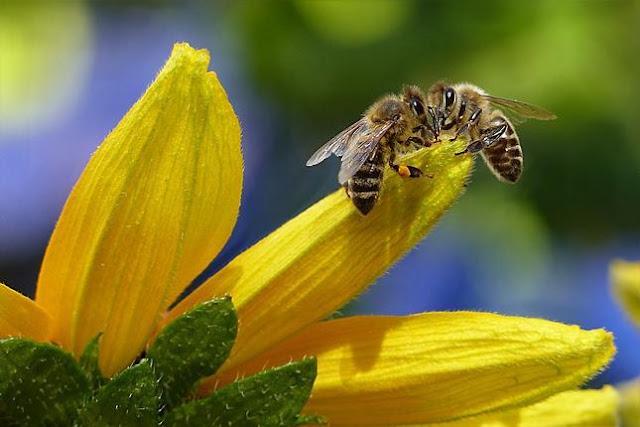 Η μέλισσα ανακηρύχθηκε το πιο σημαντικό έμβιο ον στον πλανήτη