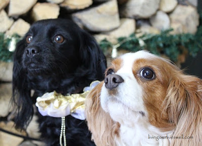Our Cavaliers enjoying Christmas!