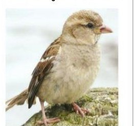 sparrow in Punjabi