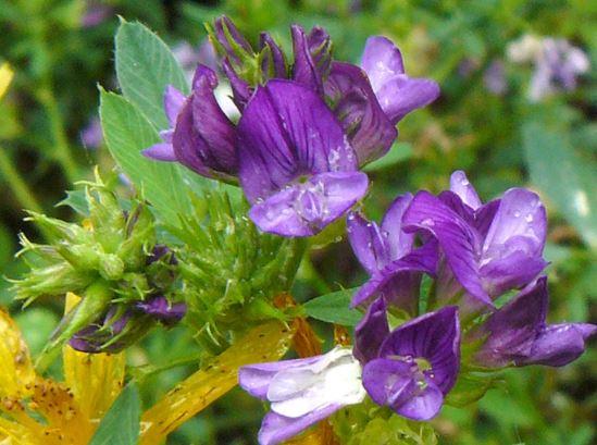 Tanaman Hijauan Alfalfa (Medicago sativa)
