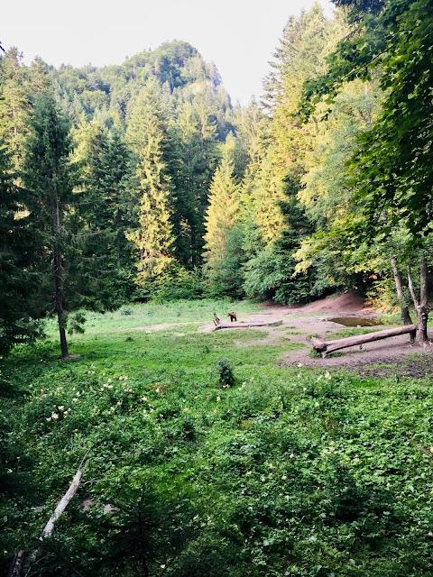 Bear Watching (Carpathian Region)