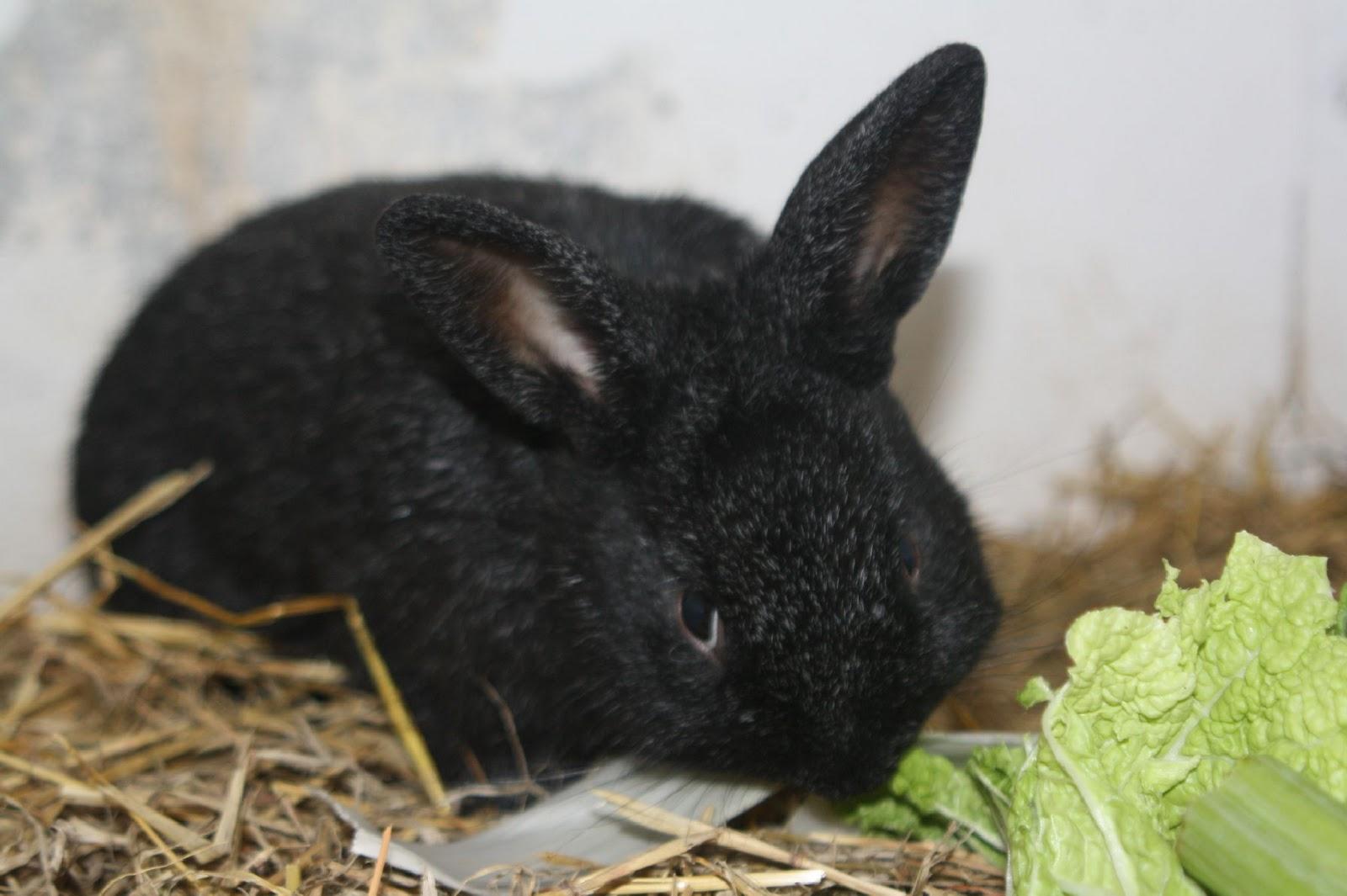 unterfrankes welt kaninchen kleinsilber beim fressen. Black Bedroom Furniture Sets. Home Design Ideas