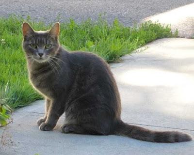 Karakter Kucing Brazilian Shorthair