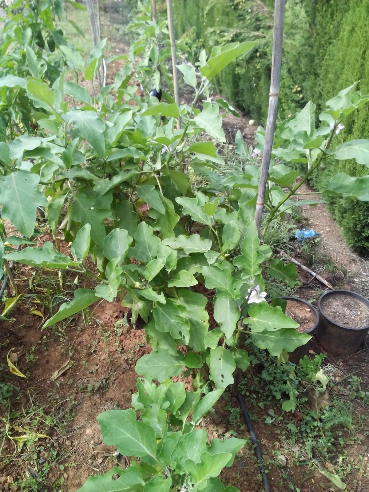 Cultivar el huerto casero septiembre 2015 - Plantas de huerto ...