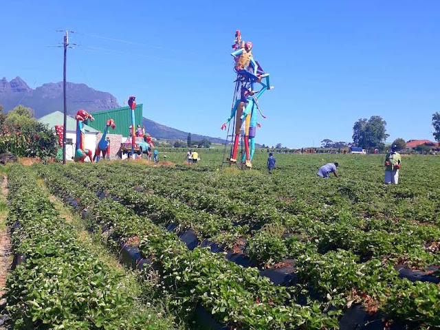 The strawberry fields in Mooiberge, Stellenbosch