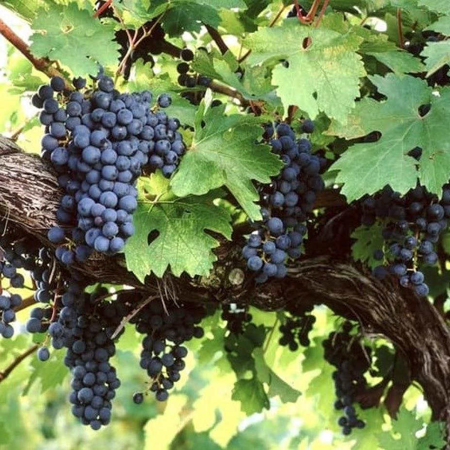 Bibit Benih Seeds Biji Buah ANGGUR AMUR Grape Fruit Anggur Manis Import isi 15 biji Jakarta