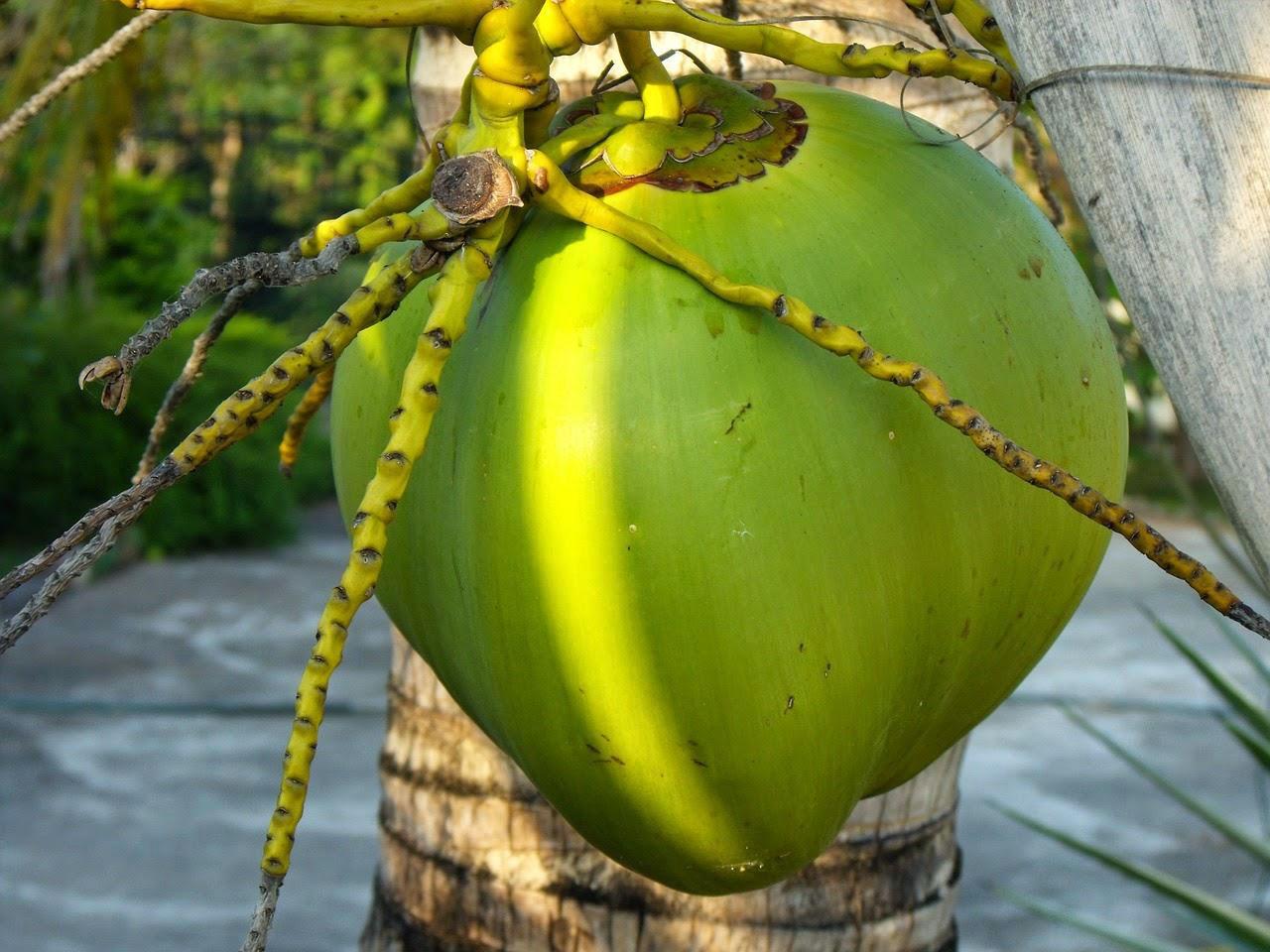 Hasil gambar untuk manfaat buah kelapa