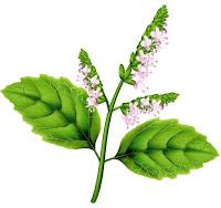 رائحة الباتشولي patchouli scent