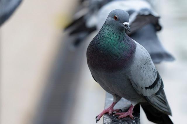Pigeons حمامة جميلة