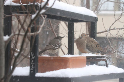 "The fifth bird-themed image in this post. This picture shows two birds standing on a garden shelf during a snowfall. A Northern mockingbird is on the left and a Mourning dove is on the right.  These bird types are featured in my book series, ""Words In Our Beak."" Info re my books is included within another post on this blog @ https://www.thelastleafgardener.com/2018/10/one-sheet-book-series-info.html"