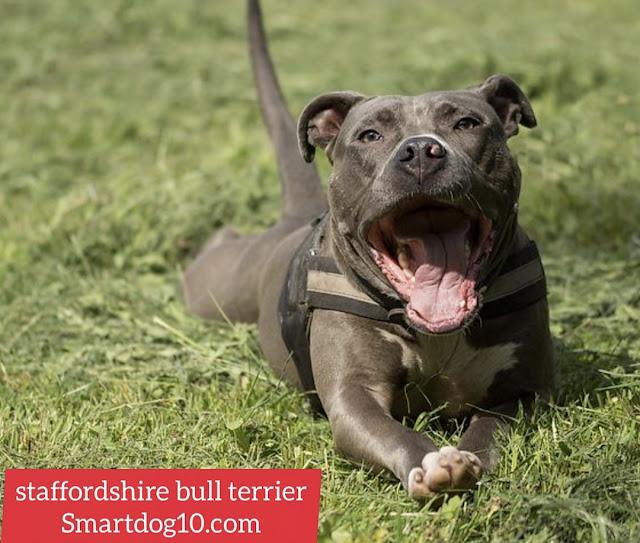 blue staffordshire bull terrier for sale