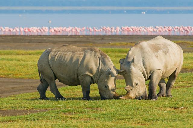 Rinocerontes en Nakuru, Kenia