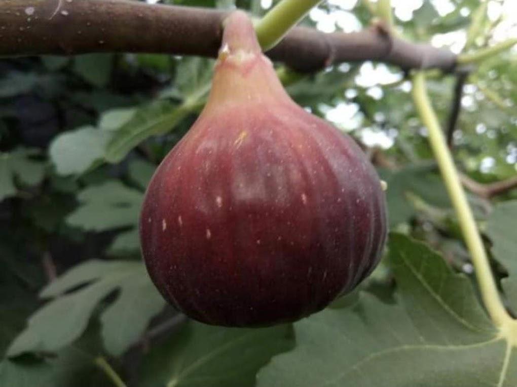 bibit buah tin merah jenis TGF Jumbo fresh cangkok Jawa Barat