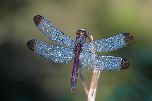 Las libélulas forman gigantescos enjambres | Universo Animal