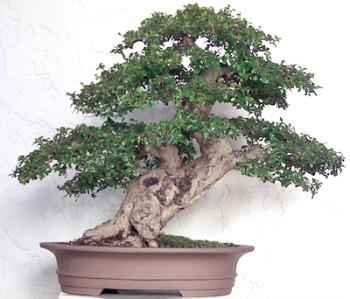 Bonsai Tea Tree Sticky Leaves Bonsai Tree