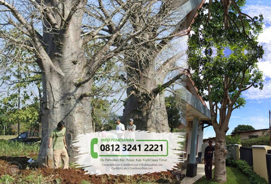 Jual Bibit Pohon Kaki Gajah Baobab