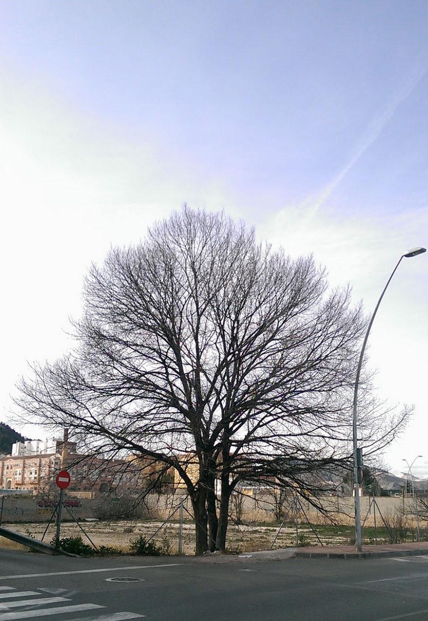 Precioso olmo en invierno. Avenida de la Feria, Yecla