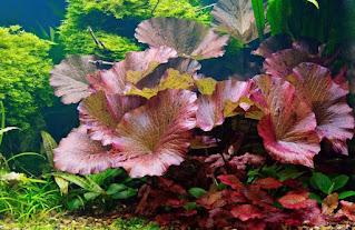 tanaman aquascape tiger lotus