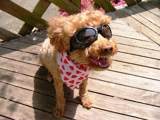 Smiling dog in the sun wearing dog sunglasses