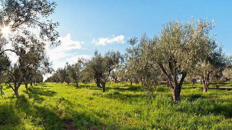 Οδηγίες προς ελαιοκαλλιεργητές για την αντιμετώπιση του δάκου της ελιάς