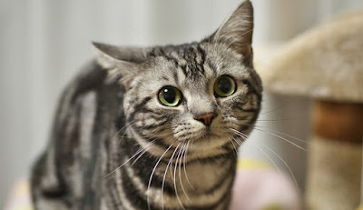 Sifat Kucing American Shorthair