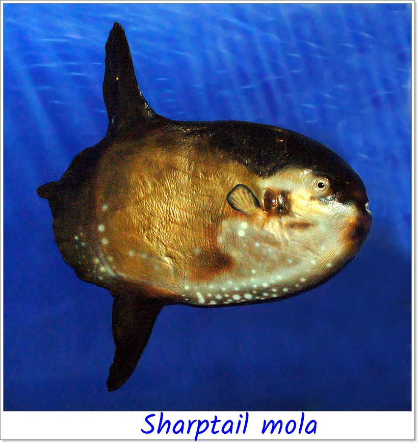 Sharptail Mola