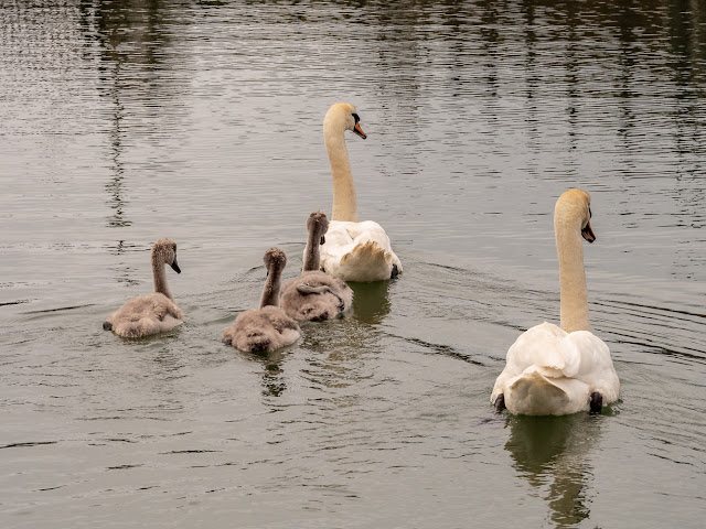Photo of the swan family leaving after a feed