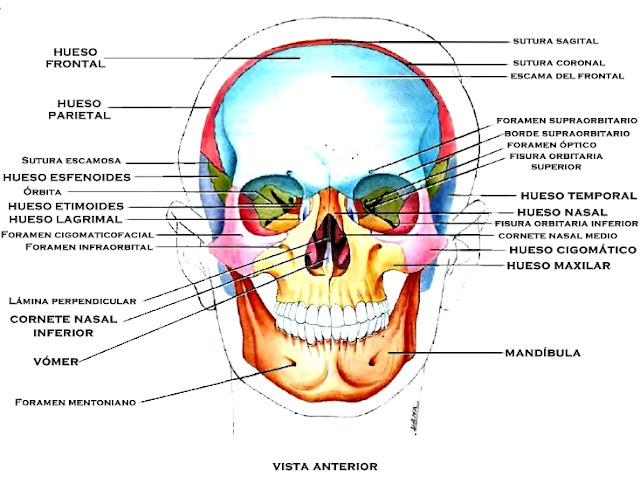 Huesos cráneo cara vista frontal anterior