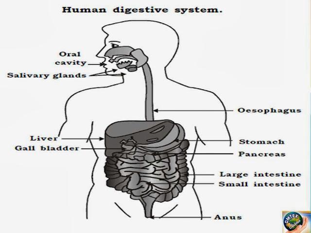 OMTEX CLASSES: Human digestive system. [Diagram]