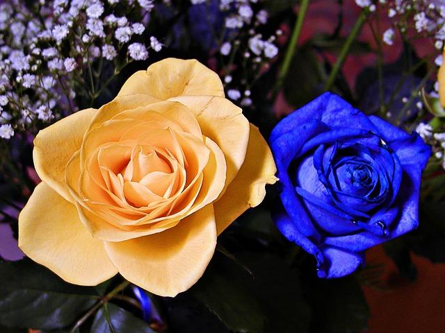 hoa hong xanh va cam