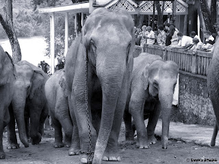 A herd of elephants returns from a bath at the Pinnawala elephant orphanage, in Sri Lanka.