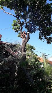 Tebang pohon Surabaya di daerah ketintang wiyata