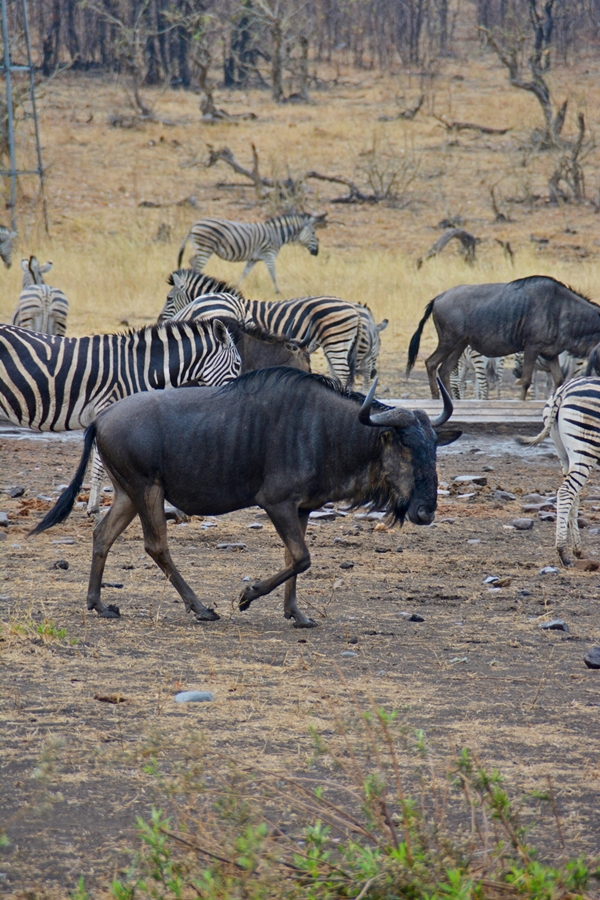 wilderbeest in front of zebras