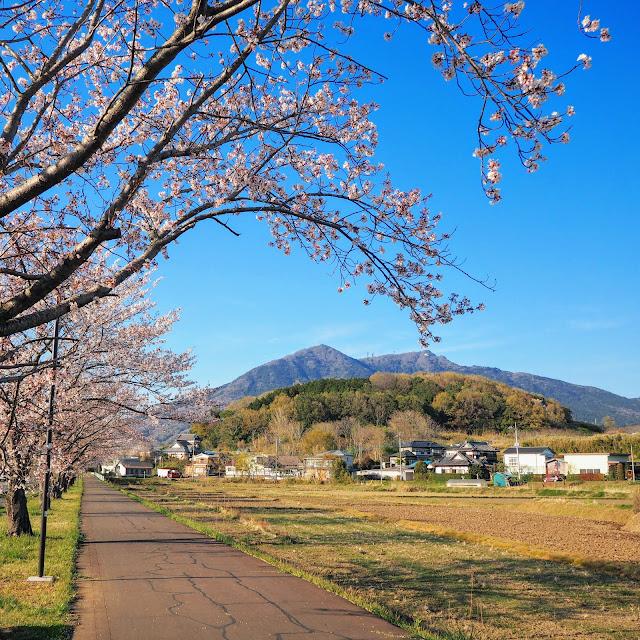 つくばりんりんロード 桜 筑波山