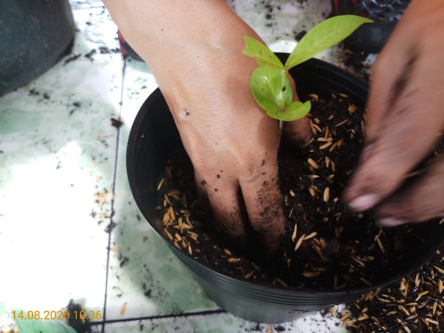 Allamanda violacea Cherry Jubilee seedlings are transplanted small pot