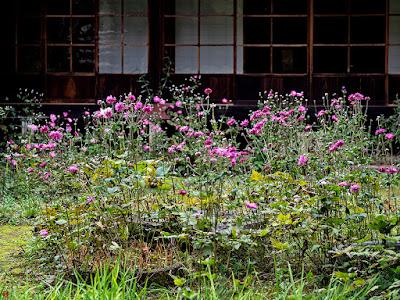 Shumei-giku (Anemone hupehensis var. japonica) flowers: Jyochi-ji