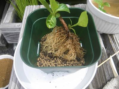 挿し穂 植え替え