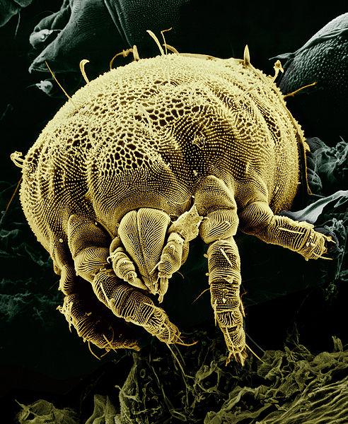Arachnids: Yellow mite (Tydeidae) Lorryia formosa 1