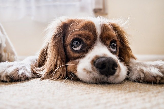 gambar hewan peliharaan anjing