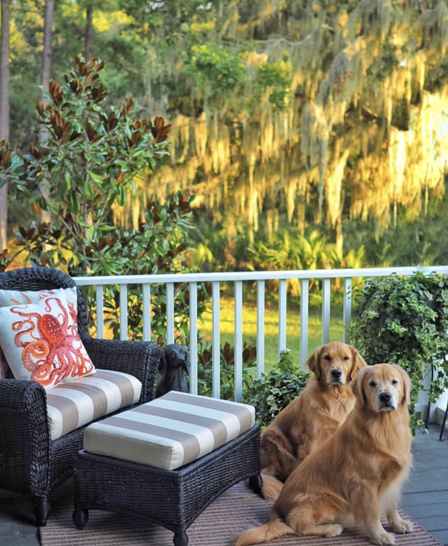 Golden Retrievers Spanish Moss