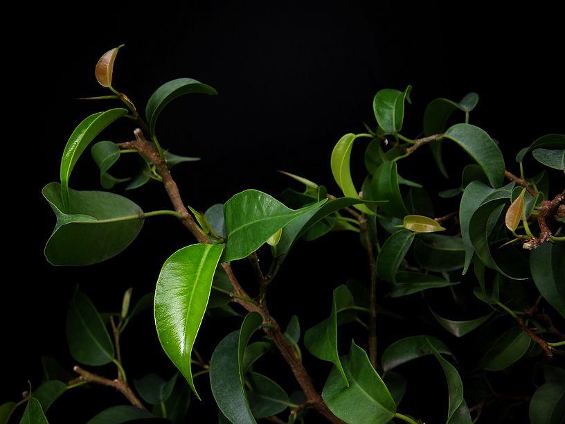 fikus benjamina liście
